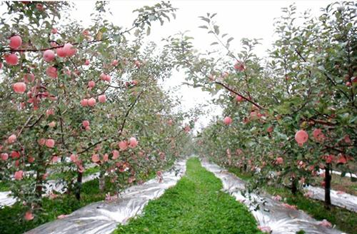 【品牌专栏】果树种植增色反光膜,你值得拥有!