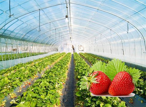 草莓专用大棚膜案例