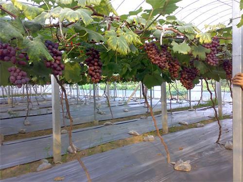 葡萄专用大棚膜案例